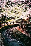 Cherry blossom and stream in Aizuwakamatsu<br /> <br /> Fleur de cerisier et ruisseau à Aizuwakamatsu