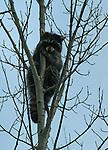 Raton laveur réfugié dans un arbre Quebec en hiver. Canada.