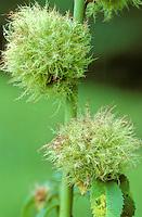 Bedeguargal (Diplolepis rosae)