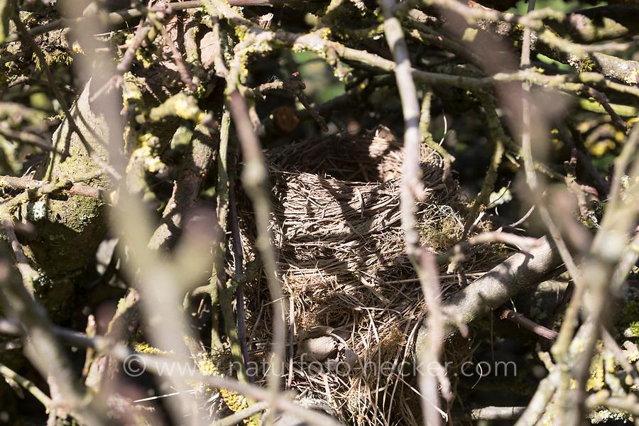Vogelnest, Nest, Napfnest in einem Reisighaufen, Ästehaufen, Totholz, Schnittgut aus Ästen und Zweigen wird auf einen Haufen gelegt und dient als Lebensraum für viele Tiere, nest, brushwood, brush-wood, Amselnest, Amsel, Schwarzdrossel, Turdus merula, Blackbird, Merle noir