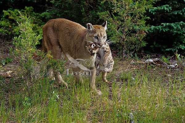 Mountain lion, cougar, or puma (Felis concolor) mother carrying young cub whiched had strayed to far from the den area, Western U.S.
