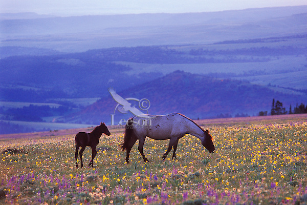 Wild horse mare and colt feed among wildflowers.  Western U.S., summer..(Equus caballus)