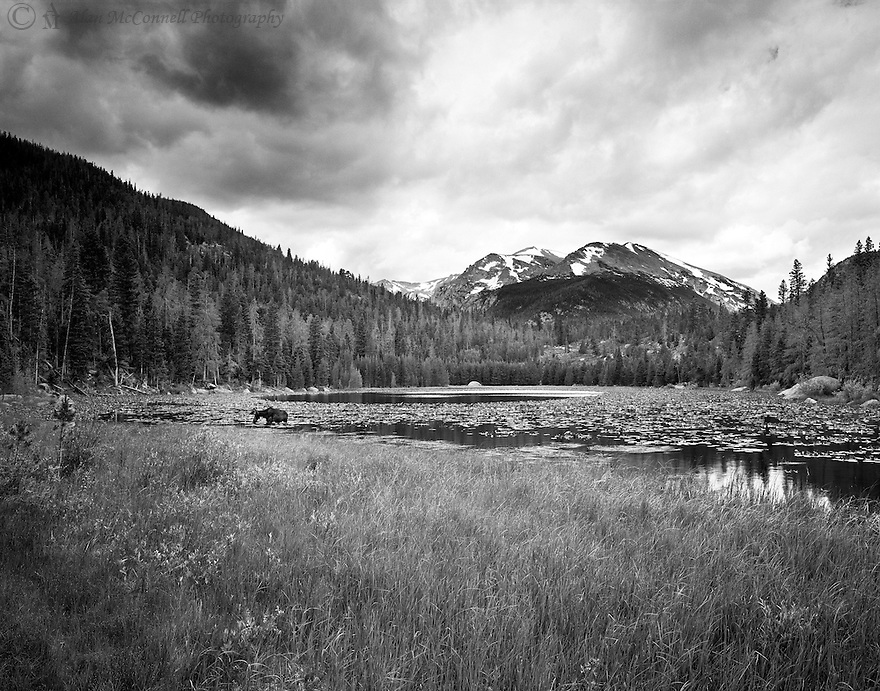 """""""Companion at Cub Lake""""<br /> Rocky Mountain National Park, Colorado<br />  2011<br /> <br /> An easy 2.3-mile hike in Rocky Mountain National Park brings hikers to Cub Lake. This lake is surrounded by a thick pine forest and a marshy shoreline. The surface of the lake has an abundance of yellow pond-lilies.  It is not uncommon for wildlife to visit this area. On this day, a grazing moose decided to keep me company.<br /> <br /> 4 x 5 Large Format Film"""