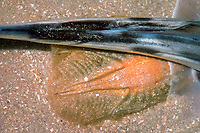 elephant fish, ghost shark or plownose chimaera, Callorhinchus milii, extruding egg cases, South Australia