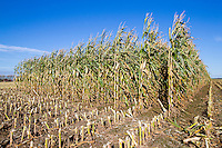 Forage maize ready for harvest - Lincolnshire, October