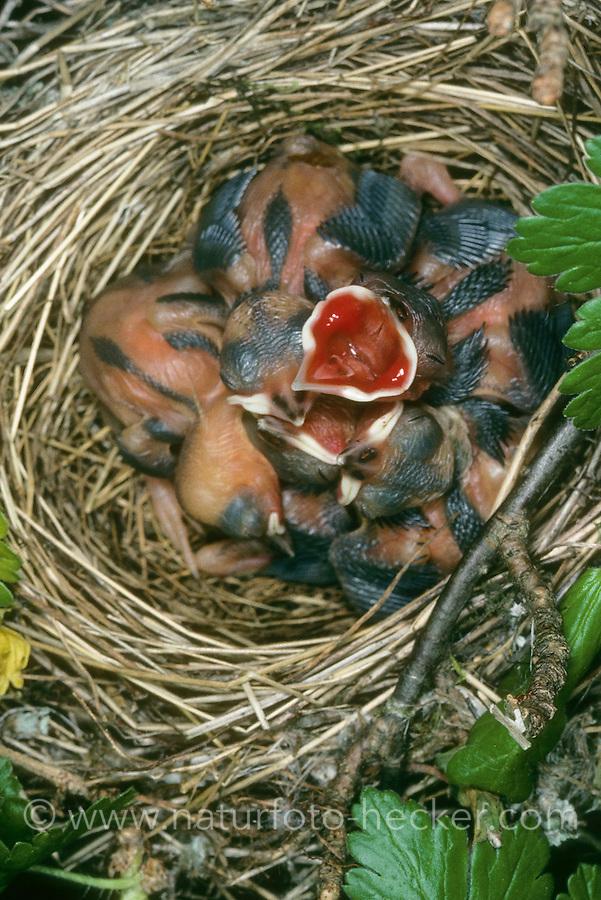 Gartengrasmücke, Garten-Grasmücke, bettelnde, sperrende Küken im Nest, Grasmücke, Sylvia borin, garden warbler