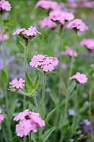 Lychnis flos-jovis (Flower of Jove)