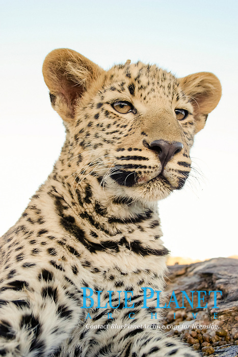 African Leopard, Panthera pardus pardus, Namibia, Africa