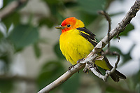Male Western Tanager (Piranga ludoviciana).  Idaho/Wyoming border area.  June.