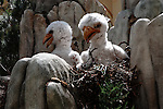 Eaglet Imposters