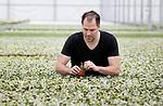 Foto: VidiPhoto<br /> <br /> BEMMEL – Zo'n 5 miljoen plantjes in zestien verschillende soorten en drie kleurschakeringen groeien bij Hedera Rikken jaarrond. Zo'n 90 procent daarvan is bestemd voor het buitenland. Hedéra is de meest verkochte klimop. Pim Rikken -een van de vijf Nederlandse telers met dit product- kweekt ze in het kassengebied NextGarden (Bergerden) in Bemmel bij Arnhem op twee verschillende locaties (totaal 3,5 ha.). Een deel van het personeel van Rikken bestaat uit mensen met een achterstand tot de arbeidsmarkt.