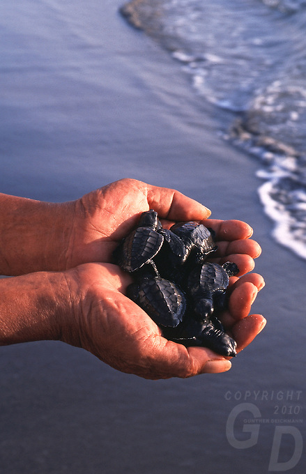 Caring hands hatched Marine Turtles