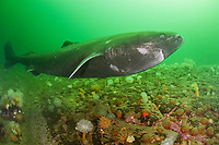 Greenland sleeper shark, Somniosus microcephalus, swims over ledge covered with plumose or frilled anemones, Metridium senile, northern red anemones, Tealia felina or Urticina felina & other invertebrates, St. Lawrence River estuary, Quebec, Canada (this shark was wild & unrestrained; it was not hooked and tail-roped as in most or all photos from the Arctic)