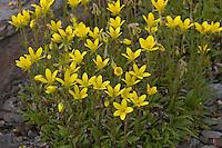 Moor-Steinbrech, Moorsteinbrech, Goldblumiger Steinbrech, Saxifraga hirculus, saxifrage, marsh saxifrage, bog saxifrage