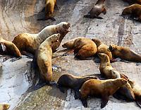 Steller's sea lions. Much barking.
