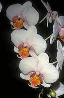 orchids Phalaenopsis Fairy Tales (Elise de Valec x Be Glad) multifloral type in white with colored lip and spots
