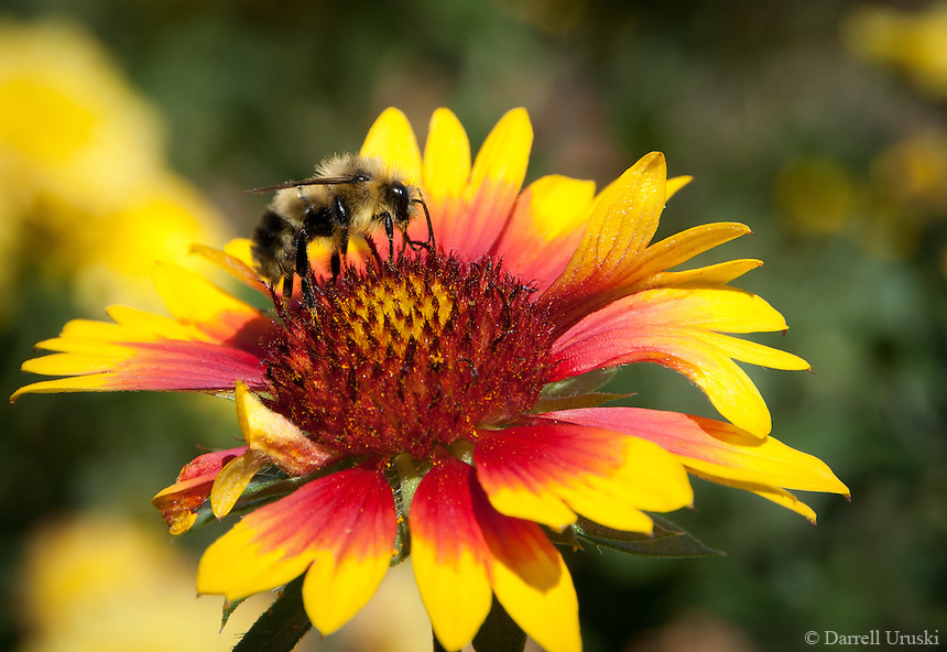 Macro photo of a bee gathering Pollen from a flower.