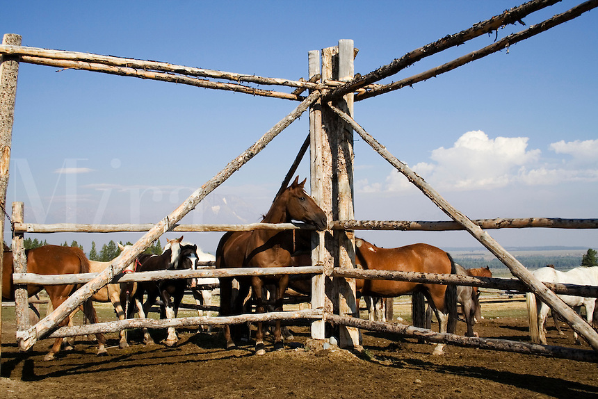 Horses in corral at Triangle X Dude Ranch in Grand Teton National Park