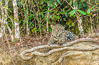 an adult jaguar, Panthera onca, at twilight, Rio Cuiabá, Mato Grosso, Brazil, South America