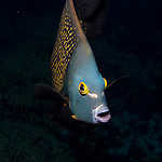 French Angelfish in Bonaire at Night