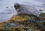 Harbor seal, Iceland
