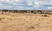 Tanzania. Tarangire National Park.  Scenic View with Zebras in Dry Season.
