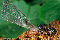 AN09-024b  Ant - worker carrying grasshopper wing to colony