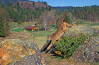 COUGAR/MOUNTAIN LION/PUMA..Male yearling overlooking farm. Summer..Rocky Mountains. (Felis concolor).