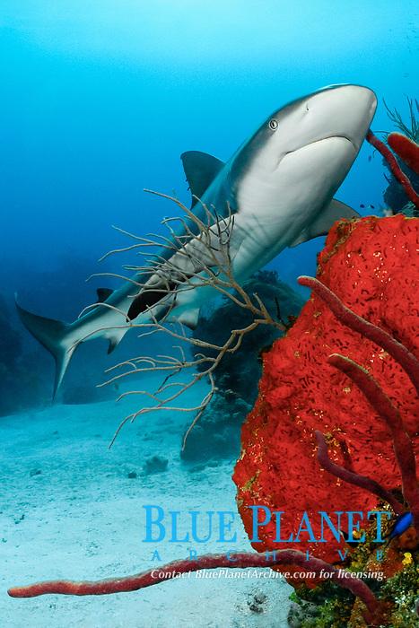 Caribbean reef shark, Carcharhinus perezii, on coral reef with orange elephant ear sponges, Agelas clathrodes, & red rope sponges, Bahamas (W. Atlantic) (do, dm)