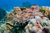 Ornate Wobbegong Shark, Orectolobus ornatus, Flinders Reef, Moreton Bay Marine Park, Brisbane, Queensland, Australia, Pacific Ocean