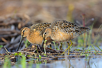 Foraging adult Long-billed Dowitchers (Limnodromus scolopaceus) in breeding plumage. Seward Peninsula, Alaska. May.