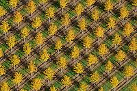 Baumschule: EUROPA, DEUTSCHLAND, NIESDERSACHSEN, BECKEDORF, (EUROPE, GERMANY), 19.10.2012: Europa, Deutschland, Niedersachsen, Beckedorf,  Nordheide, Baumschule, Baum, Baeume, bunt, gelb, Herbst, herbstlich, Pflanzen, Zucht, Reihe, Reihen, aufgereiht, aufgereihte, Pflanze, Baumpflanze, Baumpflanzen, Natur, Umwelt, Laub, Laubfall, Farbe, Luftbild, Luftbilder, Luftaufnahme, Luftaufnahmen, Uebersicht, Ueberblick, Vogelperspekte, Ordnung, ordentlich, System, systematisch .