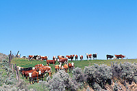 Cattle / Cows and Heifers standing in a Pasture, British Columbia, Canada