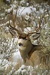 A mule deer buck hunkers down in the sage, curled into a daybed scraped out of freshly fallen snow in Grand Teton National Park, Wyoming.