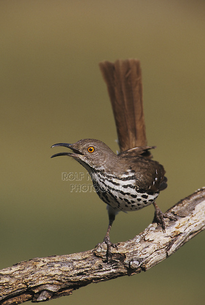Long-billed Thrasher (Toxostoma longirostre), adult singing, Starr County, Rio Grande Valley, Texas, USA
