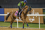 MEYDAN,DUBAI-MARCH 24: Lazzam,trained by Marco Botti,exercises in preparation for the UAE Derby at Meydan Racecourse on March 24,2016 in Meydan,Dubai (Photo by Kaz Ishida)