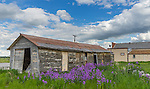 Teton County, Montana:<br /> Purple flowers of a money plant (Lunaria annua) blooming next to a weathered shed