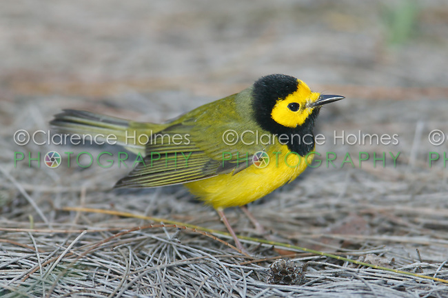 Hooded Warbler (Wilsonia citrina) - Male, Fort Desoto Park, near St. Petersburg, Florida