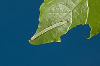 Blaues Ordensband, Raupe, Jungraupe frisst an Pappel, Catocala fraxini, blue underwing, Clifden nonpareil, caterpillar, La Lichénée bleue. Eulenfalter, Noctuidae, noctuid moths, noctuid moth, Ordensbänder. Tarnung, Tarntracht, Verbergetracht, Camouflage, Mimese, mimesis