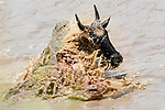 A large Nile crocodile (Crocodylus niloticus) attacking a white-bearded wildebeest (Connochaetes taurinus albojubatus) as it crosses the Mara River. Northern Serengeti, Serengeti National Park, Tanzania (early September).