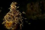 Algae octopus, Abdopus aculeatus, Lembeh Strait, Bitung, Manado, North Sulawesi, Indonesia, Pacific Ocean