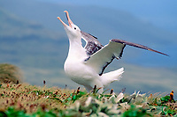 southern royal albatross, Diomedea epomophora, displaying, Campbell Island, New Zealand, Pacific Ocean