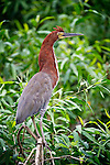 Adult Rufescent Tiger Heron (Tigrisoma lineatum) in vegetation on the banks of the Piquiri River (a tributary of Cuiaba River). Northern Pantanal, Brazil.