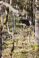 Europe/France/Centre/41/Loir-et-Cher/Sologne/Chambord: Biche  dans le Parc de Chambord -  // France, Loir et Cher, Loire Valley listed as World Heritage by UNESCO, Chateau de Chambord :  Doe in the park