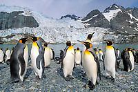 king penguins, Aptenodytes patagonicus, South Georgia Island, south Sandwich Islands, United Kingdom, British Overseas Territories, South Atlantic