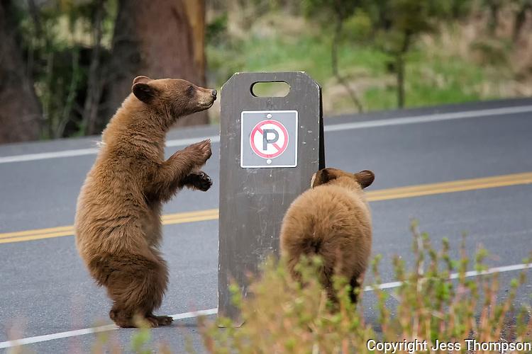 Cinnamon colored Black Bear Cubs, Yellowstone National Park