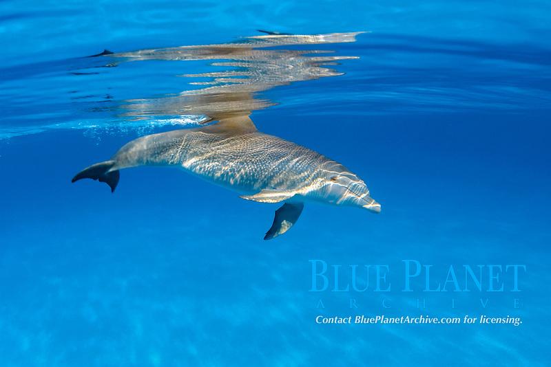Atlantic Bottlenose Dolphin, Tursiops truncatus, Bahamas, Caribbean, Atlantic