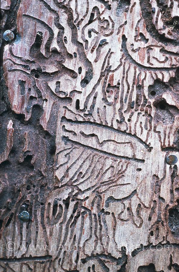 Buchdrucker und Kupferstecher (Ips typographus und Pitogenes chalcographus), Frassbild. | engraver beetle, common European engraver, spruce bark beetle with six-dentated bark beetle (Ips typographus und Pitogenes chalcographus)
