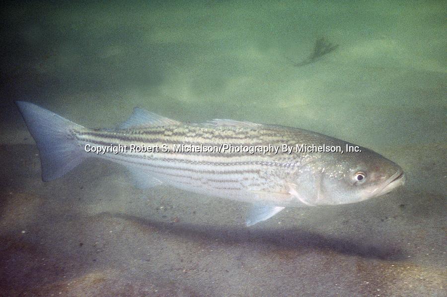 Striped Bass swimming over sand habitat.