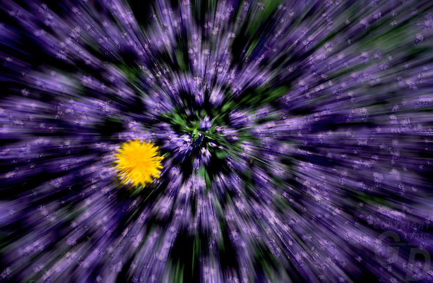 Abstract Flowers, Purple burst